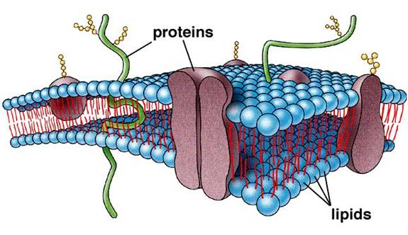 ... membrane is a 7 nm thick phospholipid bilayer with protein molecules