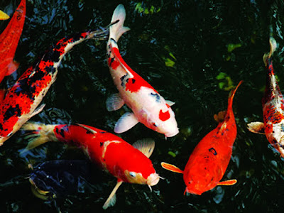 Kỹ thuật nuôi cá koi mùa sinh sản