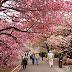 Mùa hoa mơ khoe sắc tại Nhật Bản, Hàn Quốc