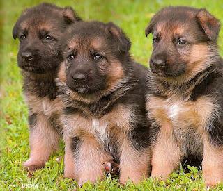 Shepherd Jerman