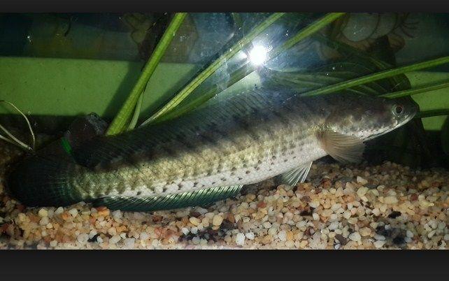 Membedakan ikan gabus jantan dan betina