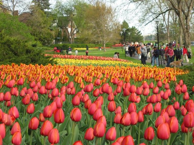 Hoa tulip ở thủ đô Ottawa, Canada
