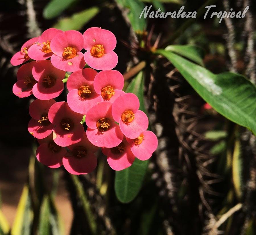 La Corona de Cristo y sus flores, Euphorbia milii