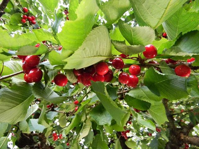 czereśnie, drzewo owocowe, słodkie owoce, w sadzie