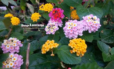 Bunga Lantana (Rumah Bunga Neisha)