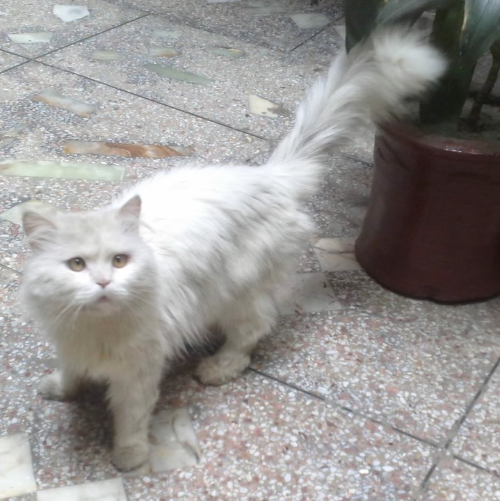 One and Half years old Persian Cat for sale