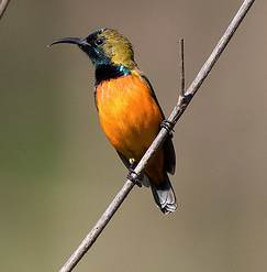 Burung Madu Matari