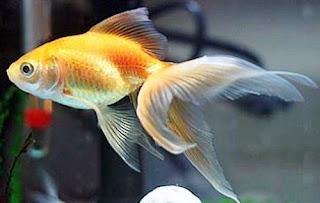Gambr Ikan Mas Koki Ekor Kipas