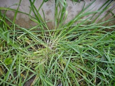 Ayurvedic Benefits of Scutch Grass (Dube) in Hindi