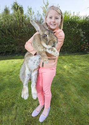 Kelinci darius terbesar di dunia