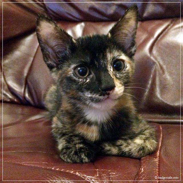 Young-Tortoiseshell-Kitten-on-Sofa