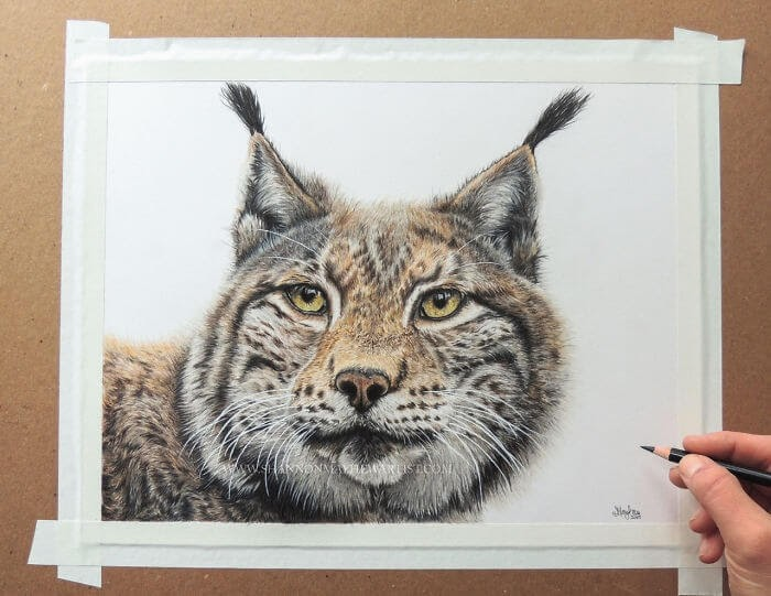 08-Lynx-Shannon-Mayhew-Drawings-by-Domestic-and-wildlife-Animal-Artist-www-designstack-co