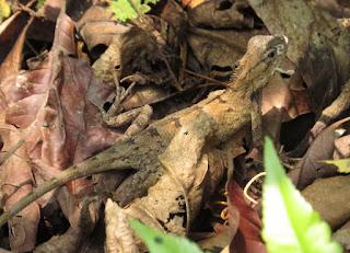 Calotes versicolor, Oriental Garden Lizard.