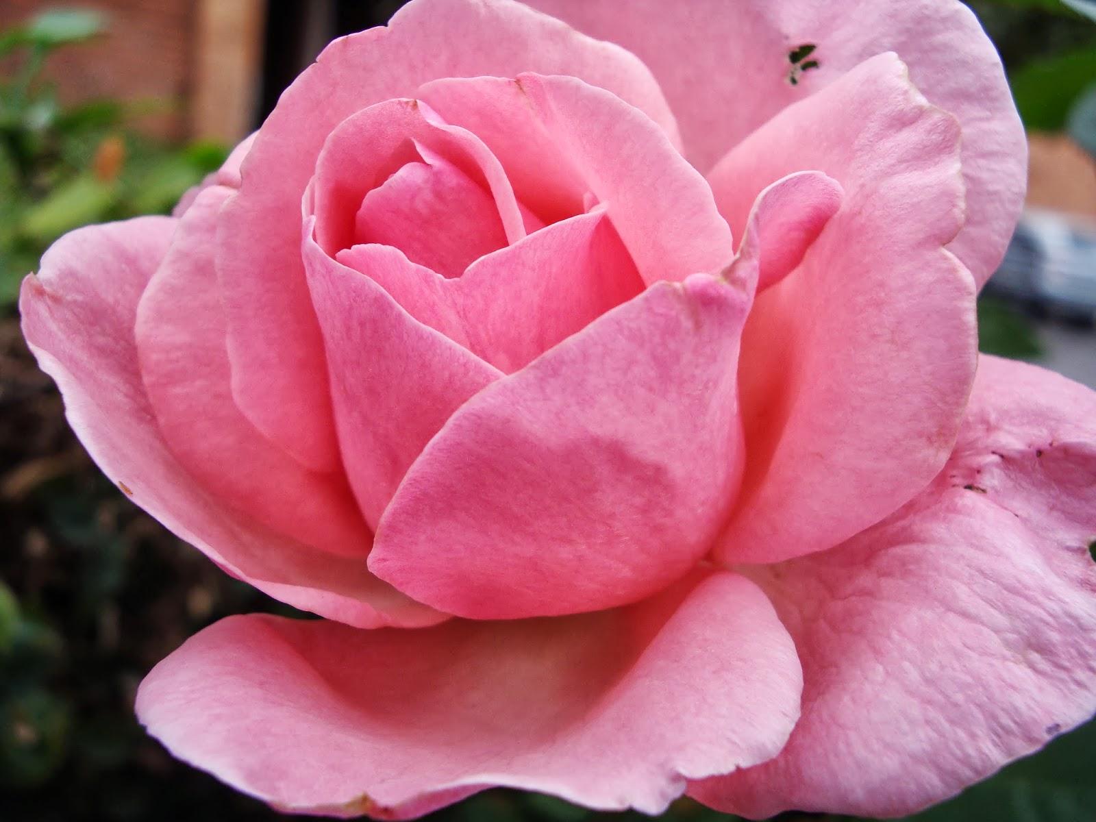 """Os Poderosos Podem Matar Uma Duas Ou Três Rosas Mas Jamais Conseguirão Deter A Primavera Inteira: Cscorporalis""""fotos"""" 02 (Flores"""
