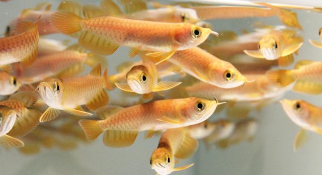Budidaya Ikan Arwana - Budidaya Ikan