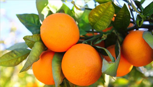 Πορτοκάλια: Εξαγωγική δύναμη η Αργολίδα παρά τα προβλήματα