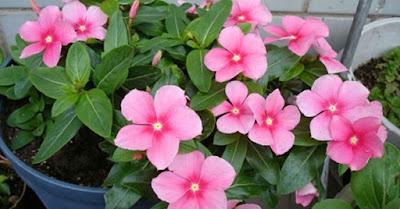 Bunga geranium tanaman hias pengusir nyamuk