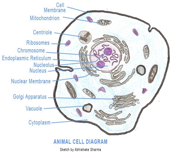8th science solved questions aadil maqbool sofi mention three differences between plant cell and animal cell ccuart Choice Image