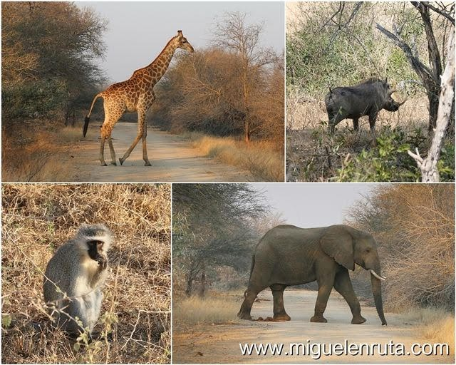Safari-por-libre-en-Kruger-Shukuza-animales-Shukuza