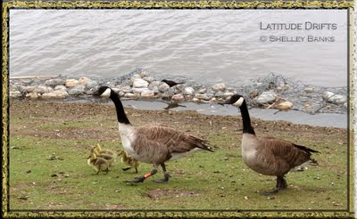 Pair of Canada geese, with four goslings