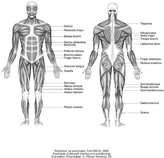 Emma Woolley...: Anatomical Diagrams