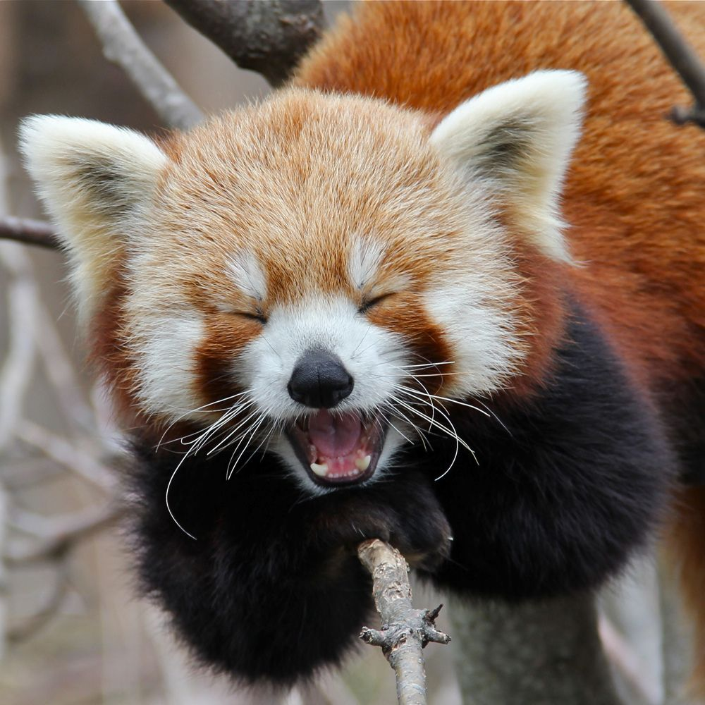 14. Yawning Red Panda