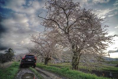 岩手県 遠野市 桜とボルボ