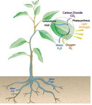 janacek's news: life cycle of a bean plant diagram of a bamboo plant