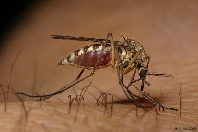 El mosquito es el insecto que más millones de muertes causa a nivel planetario