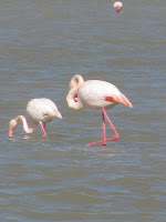 Flamingos Tigaki Salt Pan