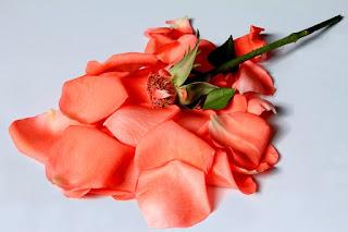 Любовь цвета розы