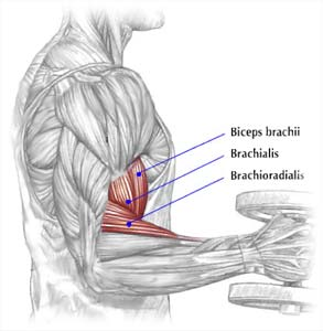 triceps brachii diagram kitchen electrical wiring how to do barbell biceps curls-correct form and muscles used