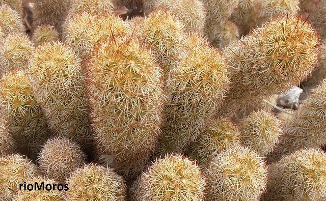 Tipos de cactus, suculentas y crasas