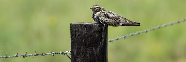 Common Nighthawk, Anahuac National Wildlife Refuge