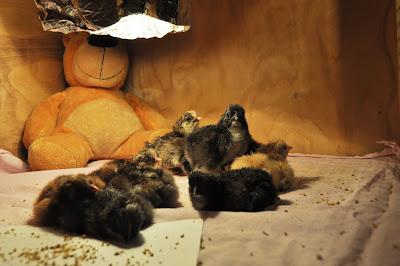 Однодневные цыплята в брудере