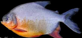 Makanan Ikan Bawal Jenis Tanaman Hidroponik