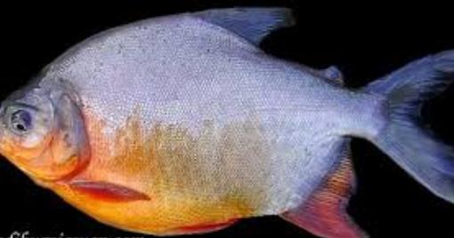 Ragam Pakan Alternatif Ikan Bawal Yang Mudah Didapat Penyuluh