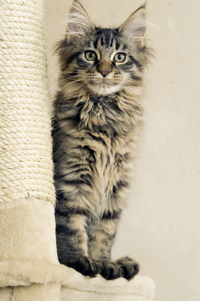 Identify A Maine Coon Cat Love Cats