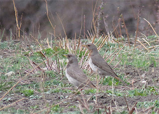 Black-throated Thrush and Red-throated Thrush