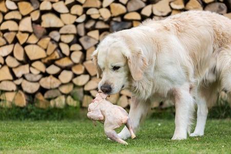 Có nên cho chó ăn nhiều thịt?