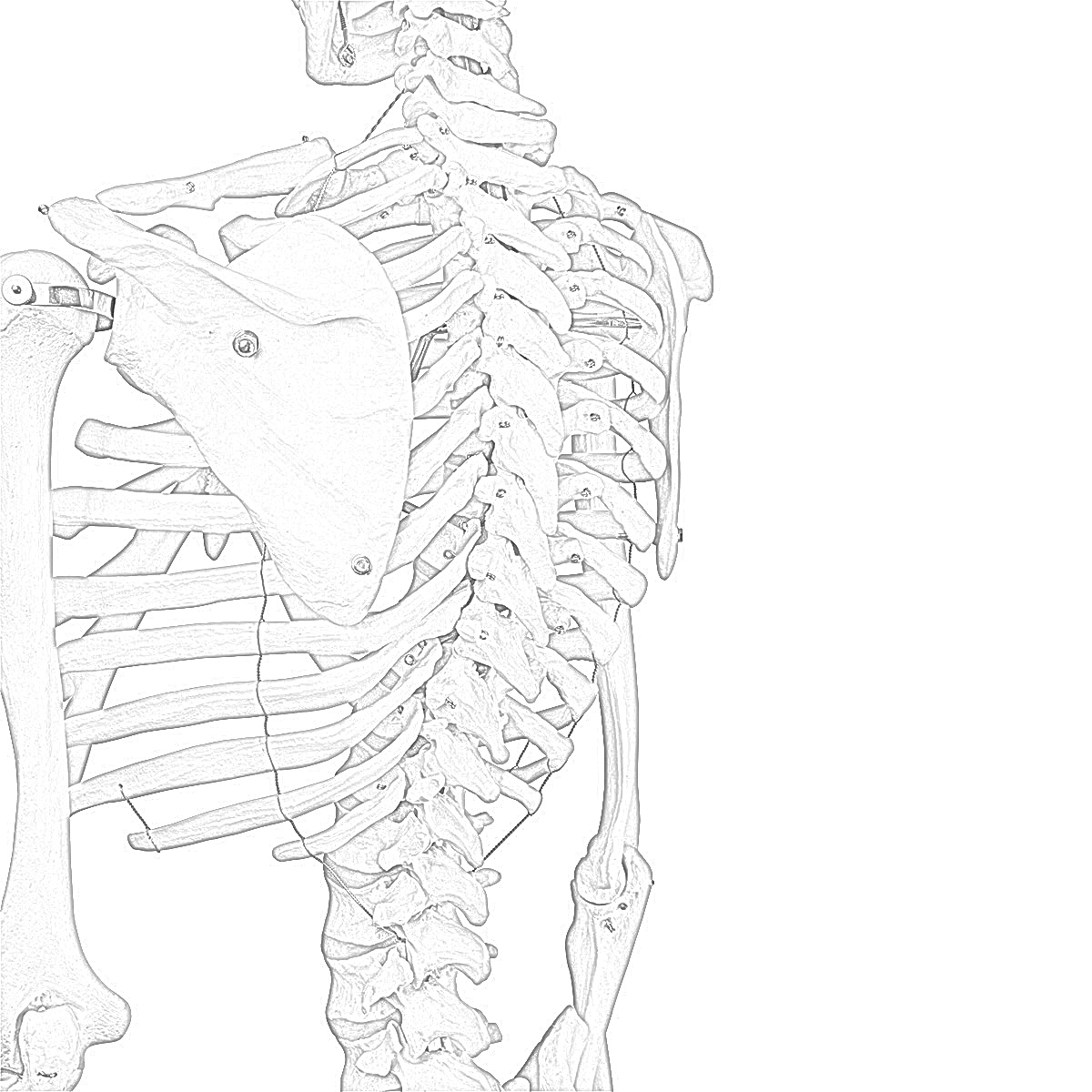 Coloring Pages: Skeleton Free Printable Coloring Pages