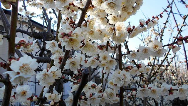 咲き誇った白い梅の花