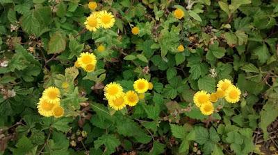 Common Fleabane (Pulicaria dysenterica)