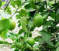 Menghilangkan komedo dengan jeruk nipis