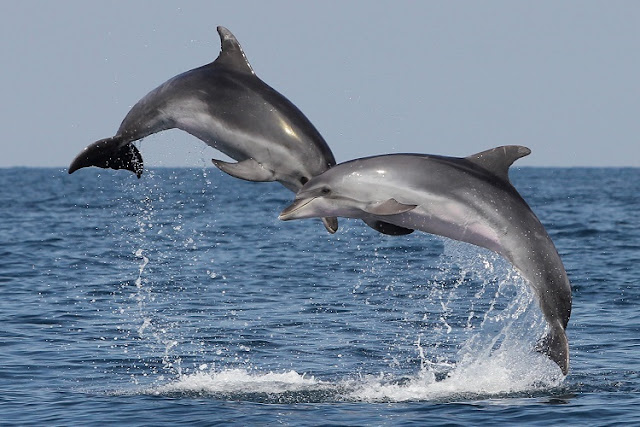 Banned toxins passed from mother to young in European dolphins