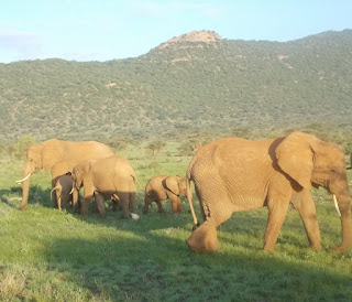 Elephants in Shaba National Reserve, Buffalo Springs National Reserve and Samburu National Reserve during Kenya safari