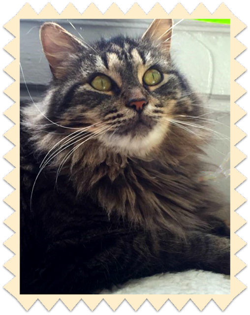 Maine Coon Cat Rescue Nyc