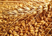 Government-buy-e-procurement-of-wheat-from-March-15-1625-per-quintal-गेहूॅ का ई-उपार्जन 15 मार्च से प्रारंभ, 1625 रूपये प्रति क्विटल खरीदेगी सरकार