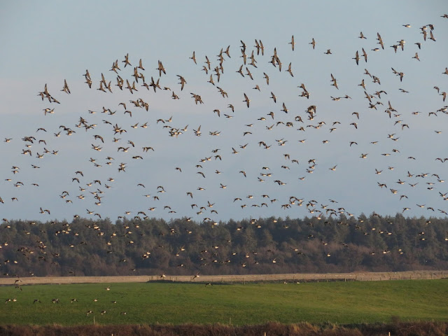 Flock of Brent geese flying over Wexford Wildfowl Reserve a good stopping point on a road trip between Kinsale and Dublin