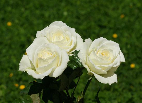 ý nghĩa hoa hồng trắng 2